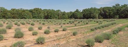 Azienda agricola della lavanda di panorama che fiorisce a Gainesville, il Texas, U.S.A. immagine stock libera da diritti