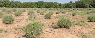 Azienda agricola della lavanda di panorama che fiorisce a Gainesville, il Texas, U.S.A. immagini stock libere da diritti