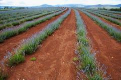 Azienda agricola della lavanda - Tasmania Fotografia Stock