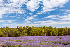 Azienda agricola della lavanda in Tasmania Fotografie Stock