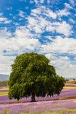 Azienda agricola della lavanda in Tasmania Immagini Stock