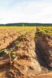 Azienda agricola della manioca Fotografia Stock Libera da Diritti