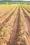 Azienda agricola della manioca Immagini Stock Libere da Diritti