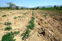 Azienda agricola della manioca in campagna della Tailandia Fotografia Stock