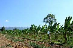 Azienda agricola della manioca ed albero di banane in campagna della Tailandia Fotografie Stock