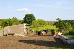 Azienda agricola della mucca Fotografia Stock Libera da Diritti