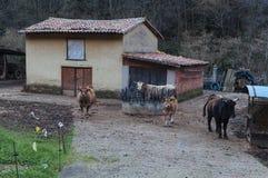 Azienda agricola della mucca Immagini Stock Libere da Diritti