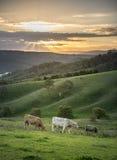 Azienda agricola della mucca in Lithgow ad ovest di Sydney Immagine Stock