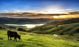 Azienda agricola della mucca in Lithgow ad ovest di Sydney Fotografia Stock Libera da Diritti
