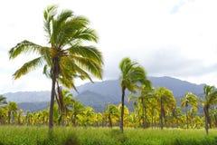 Azienda agricola della noce di cocco della palma dell'Hawai Fotografia Stock