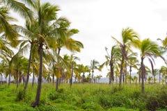 Azienda agricola della noce di cocco della palma dell'Hawai Immagini Stock