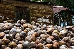 Azienda agricola della noce di cocco nella Repubblica dominicana: montagna delle noci di cocco fotografie stock libere da diritti