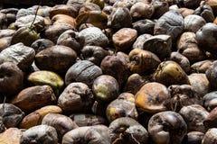 Azienda agricola della noce di cocco nella Repubblica dominicana: montagna delle noci di cocco immagini stock
