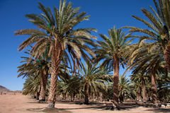Azienda agricola della palma da datteri Fotografia Stock Libera da Diritti
