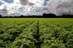Azienda agricola della patata Fotografie Stock Libere da Diritti