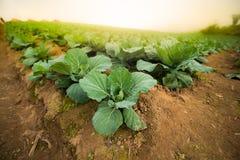 Azienda agricola della piantagione del cavolo Fotografia Stock Libera da Diritti