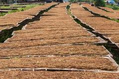 Azienda agricola della piantagione del tabacco in Tailandia Fotografie Stock