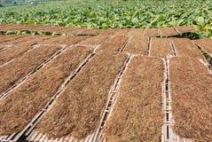 Azienda agricola della piantagione del tabacco in Tailandia Fotografie Stock Libere da Diritti