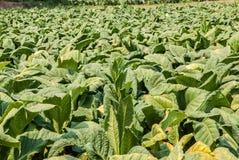 Azienda agricola della piantagione del tabacco in Tailandia Fotografia Stock