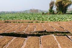Azienda agricola della piantagione del tabacco in Tailandia Immagine Stock