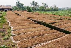 Azienda agricola della piantagione del tabacco in Tailandia Immagine Stock Libera da Diritti