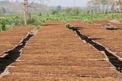 Azienda agricola della piantagione del tabacco in Tailandia Immagini Stock