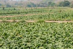 Azienda agricola della piantagione del tabacco in Tailandia Fotografia Stock Libera da Diritti