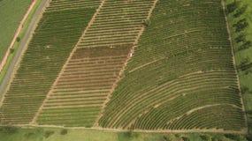 Azienda agricola della piantagione di caffè all'interno del Brasile Immagine Stock
