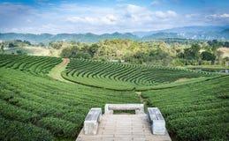 Azienda agricola della piantagione di tè verde sulla collina del pendio Fotografia Stock