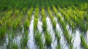 Azienda agricola della risaia Immagini Stock