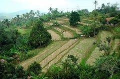 Azienda agricola della risaia Fotografia Stock