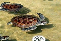 Azienda agricola della tartaruga Immagini Stock