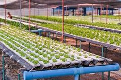 Azienda agricola della verdura di coltura idroponica. Fotografie Stock Libere da Diritti