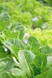 Azienda agricola della verdura di coltura idroponica Immagini Stock Libere da Diritti