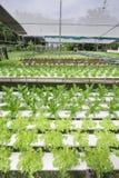 Azienda agricola della verdura di coltura idroponica Immagine Stock