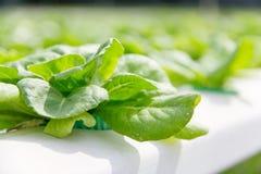 Azienda agricola della verdura di coltura idroponica Fotografie Stock Libere da Diritti