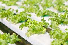 Azienda agricola della verdura di coltura idroponica Immagini Stock