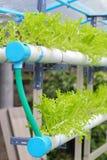 Azienda agricola della verdura di coltura idroponica della lattuga di tango Fotografie Stock Libere da Diritti
