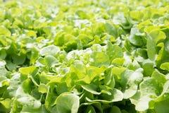 Azienda agricola della verdura di coltura idroponica Azienda agricola di verdure di coltura idroponica fresca, Sa Immagine Stock Libera da Diritti