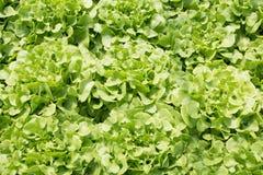 Azienda agricola della verdura di coltura idroponica Azienda agricola di verdure di coltura idroponica fresca, Sa Fotografia Stock