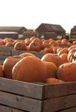 Azienda agricola della zucca a tempo di raccolto Fotografie Stock