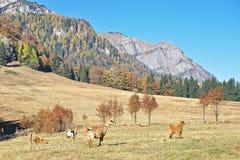 Azienda agricola delle capre Fotografia Stock Libera da Diritti
