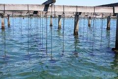 Azienda agricola delle conchiglie coltivate sulla linea costiera Mediterranea Fotografie Stock Libere da Diritti