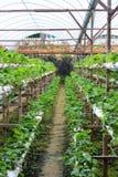 Azienda agricola delle fragole Fotografia Stock