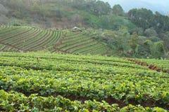 Azienda agricola delle fragole Fotografie Stock Libere da Diritti