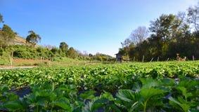 Azienda agricola delle fragole Fotografie Stock