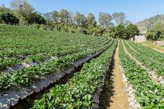Azienda agricola delle fragole a Chiangmai Tailandia Fotografie Stock Libere da Diritti