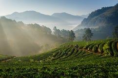 Azienda agricola delle fragole in Chiangmai, Tailandia Immagine Stock