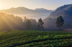 Azienda agricola delle fragole in Chiangmai, Tailandia Immagini Stock