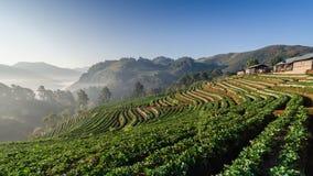Azienda agricola delle fragole di mattina Immagine Stock